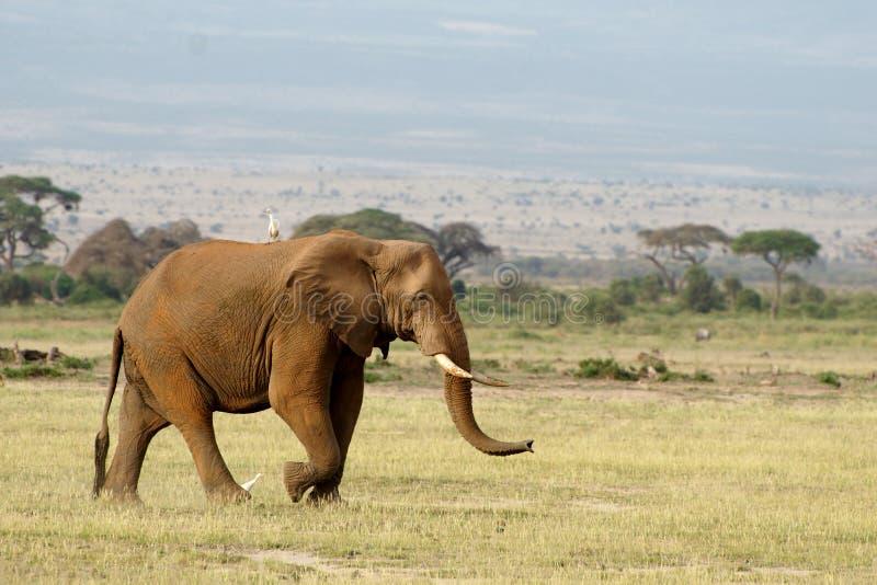 Elefante con un uccello su  immagini stock libere da diritti