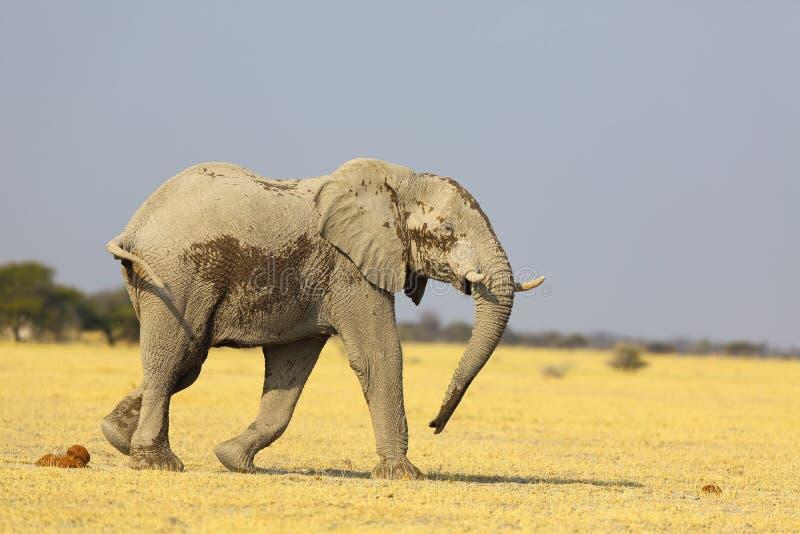 Elefante coperto di polvere bianca alla pentola NP di Nxai immagini stock