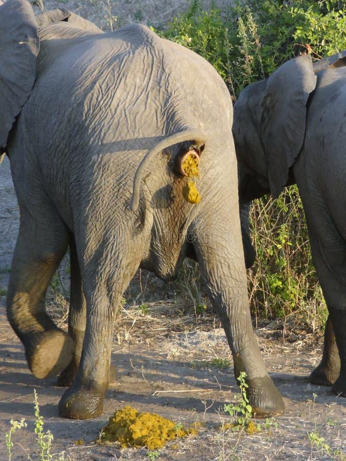 Elefante Crapping fotos de stock royalty free