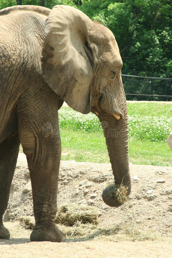 Elefante d'alimentazione immagini stock libere da diritti