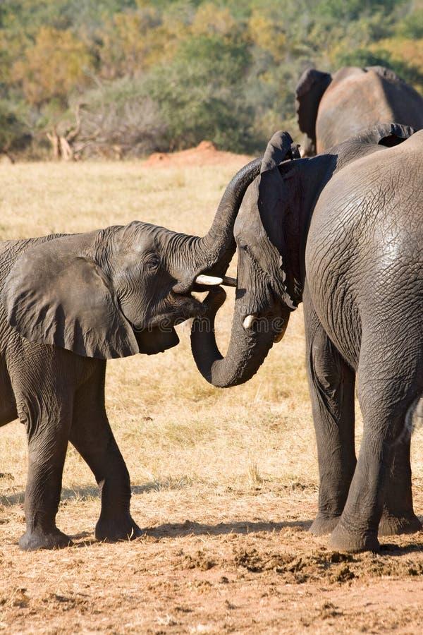 Elefante da matriz e jovens um imagens de stock royalty free