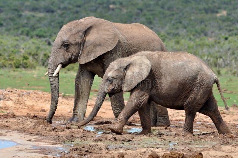 Elefante de África com vitela imagens de stock royalty free