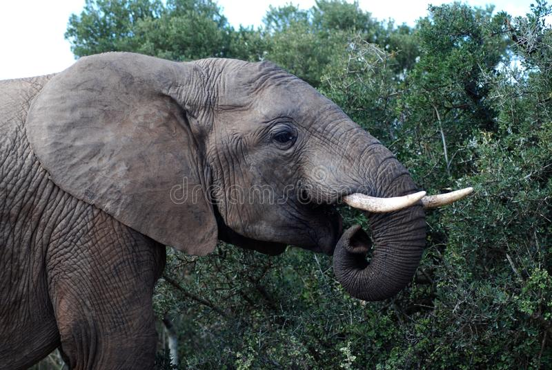 Elefante de Addo que pasta fotografia de stock royalty free