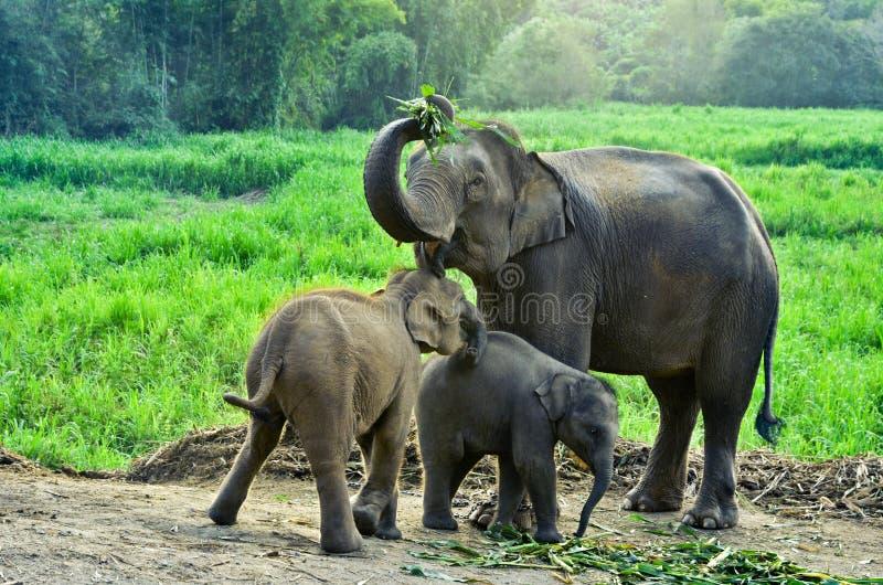 Elefante de Asia imágenes de archivo libres de regalías