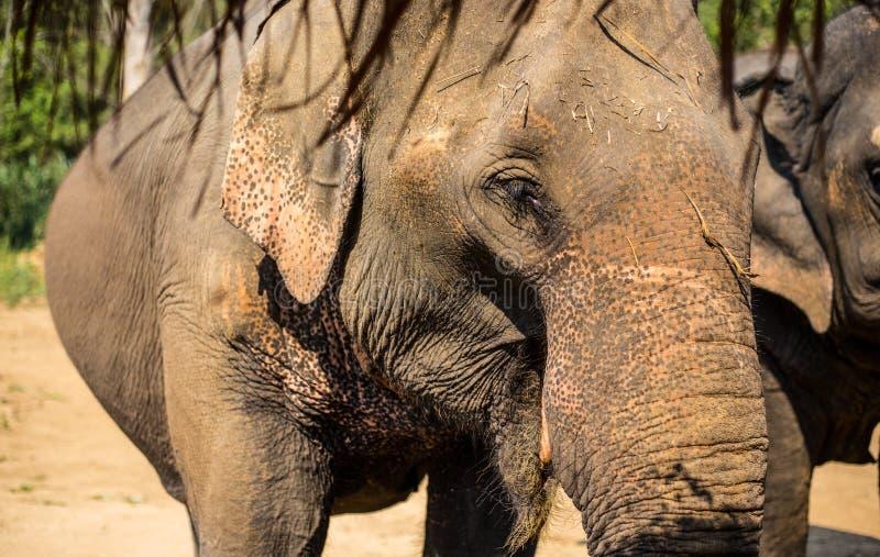 Elefante de Asia en Tailandia fotos de archivo