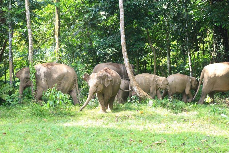 Elefante de Borneo foto de archivo libre de regalías