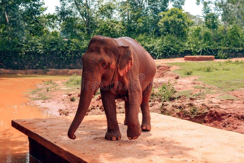 Elefante de Brown en el parque China del safari de Hainan foto de archivo