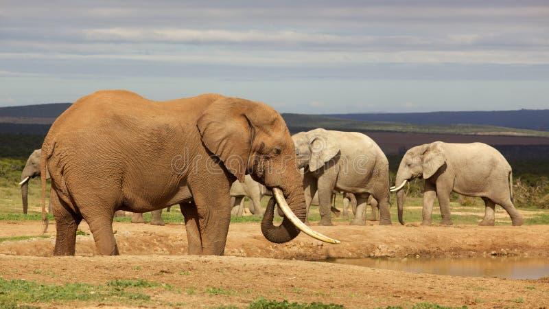 Elefante de Bull foto de stock royalty free