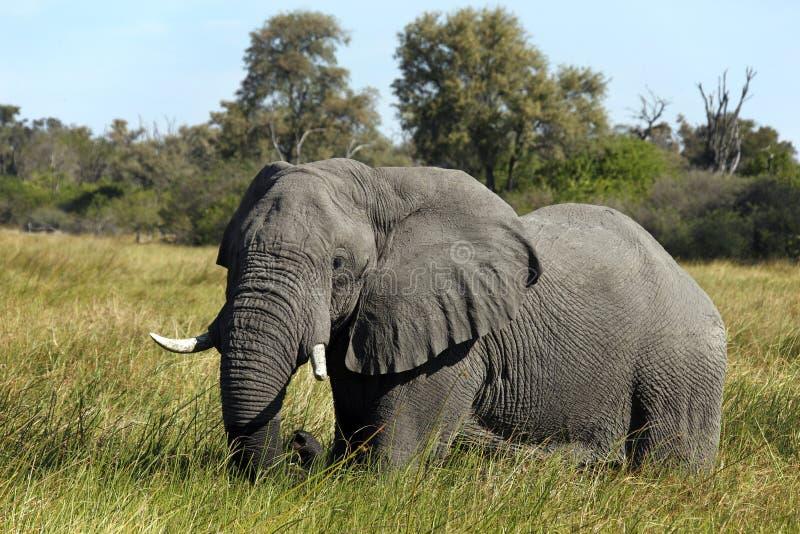 Elefante de Bull africano - Botswana imagens de stock