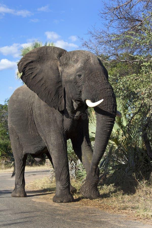 Elefante de Bull africano - Zimbabwe imagem de stock