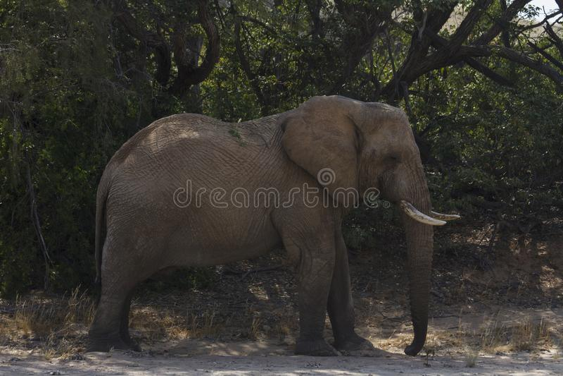 Elefante de Bull Deserto-adaptado imagens de stock royalty free