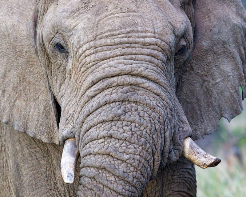 Elefante de Bull em ?frica do Sul imagens de stock
