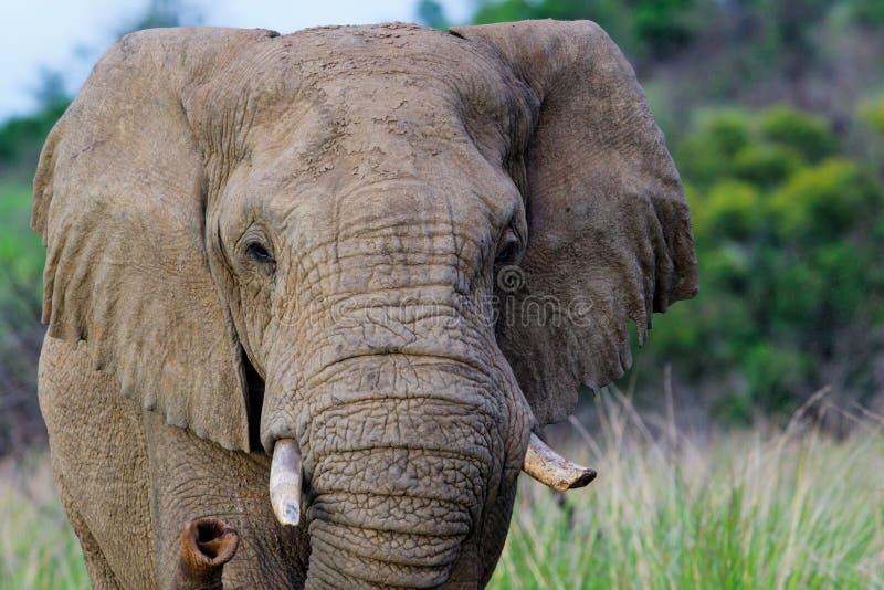 Elefante de Bull em ?frica do Sul foto de stock royalty free