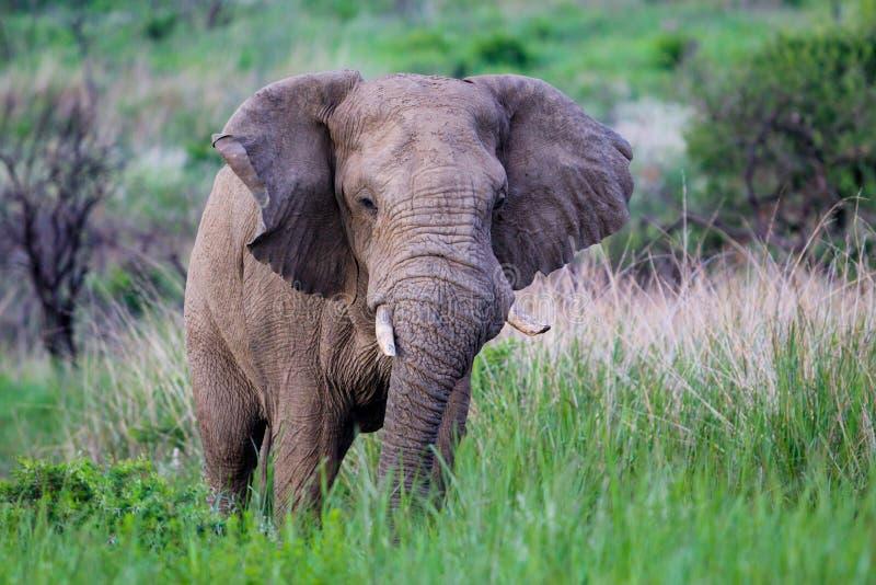 Elefante de Bull em ?frica do Sul fotografia de stock