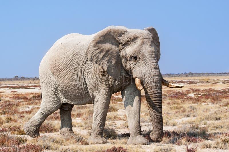 Elefante de Bull en el parque nacional de Etosha en Namibia, África imagen de archivo libre de regalías