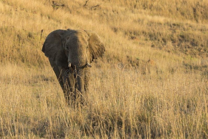 Elefante de Bull en luz de la tarde imagenes de archivo