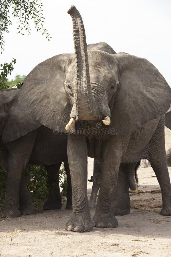 Elefante de Bull irritado - África imagem de stock