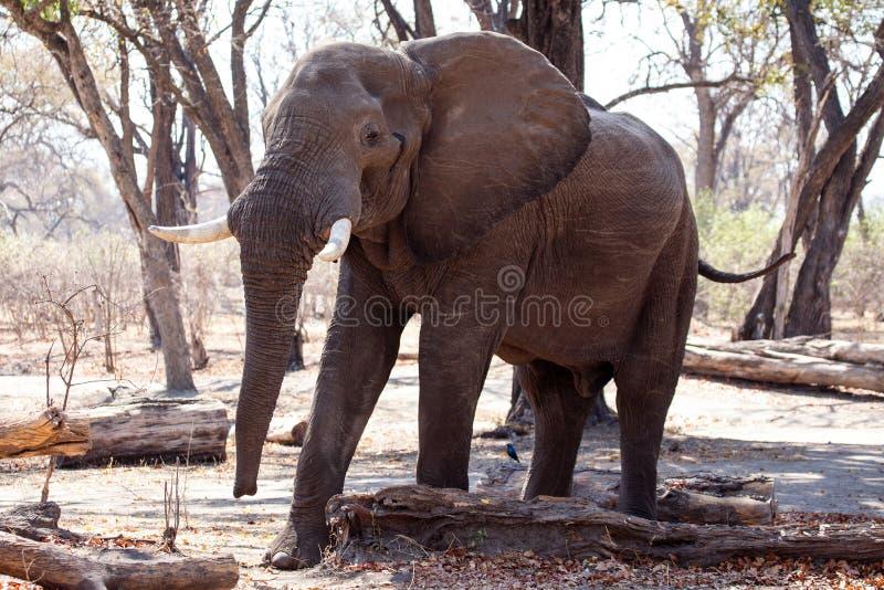 Elefante de Bull masculino - Chobe N P Botswana, África imagem de stock