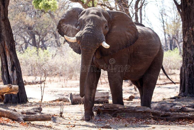 Elefante de Bull masculino - Chobe N P Botswana, África imagens de stock royalty free