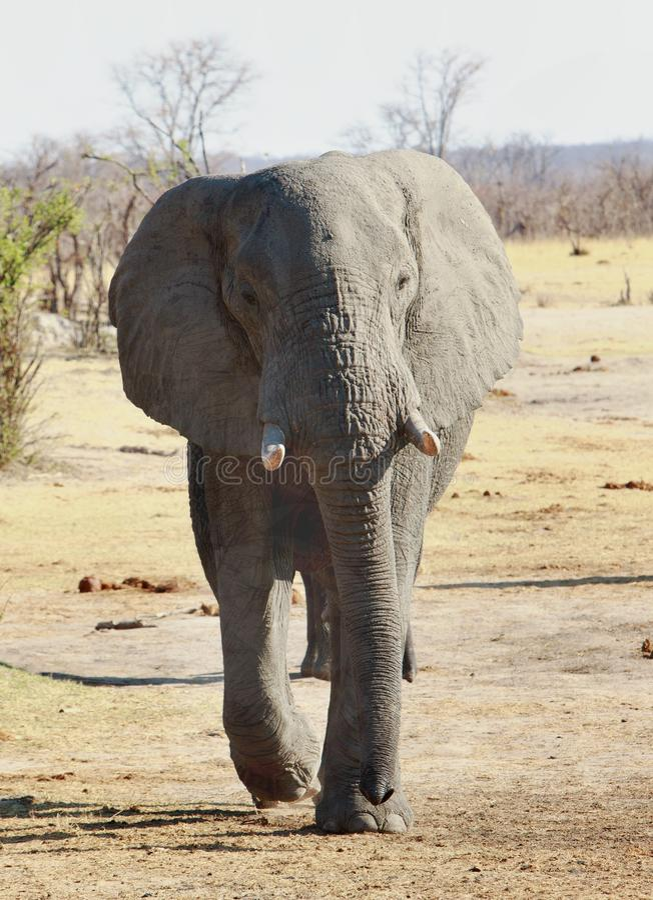Elefante de Bull que anda para a câmera com um fundo natural do arbusto no parque nacional de Hwange, Zimbabwe imagens de stock