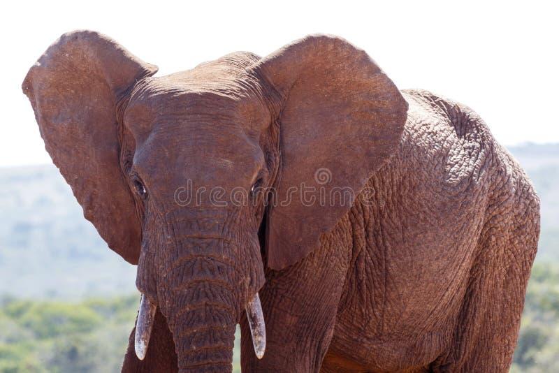 Elefante de Bush com orelhas grandes fotografia de stock