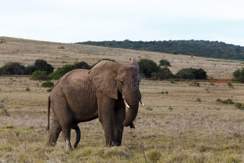 Elefante de Bush com tronco torcido imagem de stock