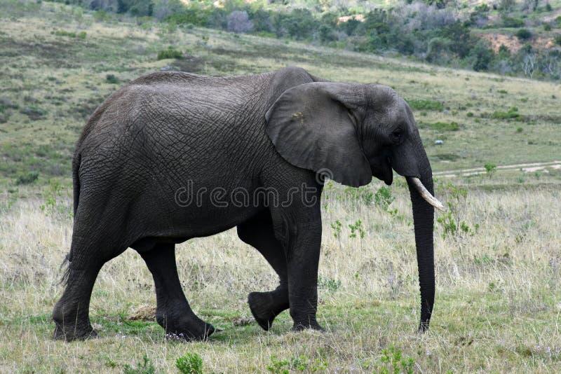 Elefante de Bush do africano, reserva de Botlierskop, África do Sul imagem de stock royalty free