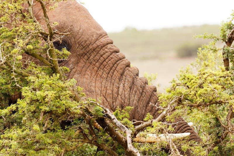 Elefante de Bush que esconde entre os arbustos espinhosos imagem de stock
