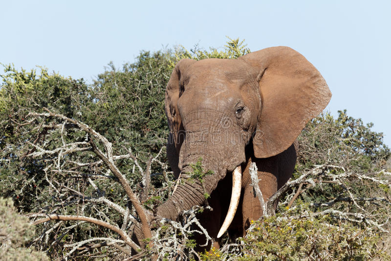 Elefante de Bush que quebra os ramos com seu tronco fotografia de stock royalty free