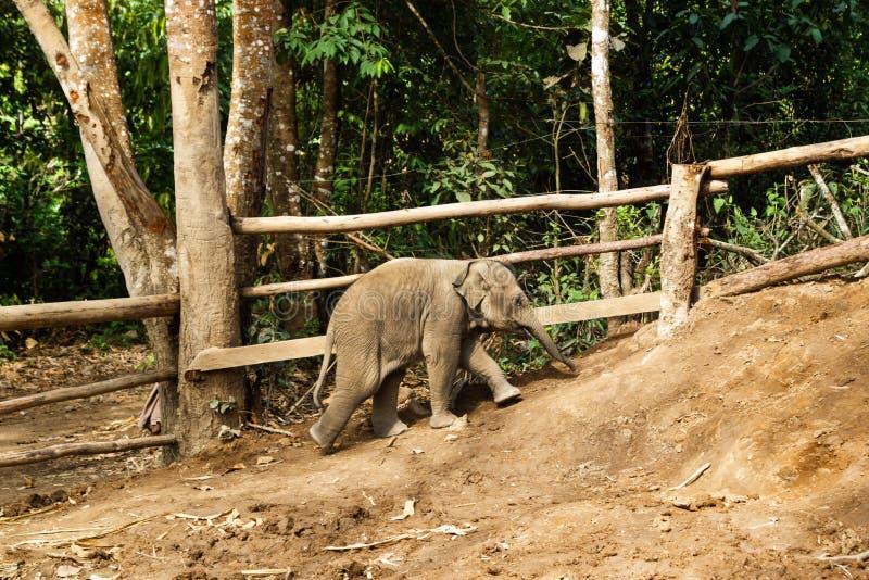 Elefante de dois meses do bebê que vai acima o monte fotos de stock
