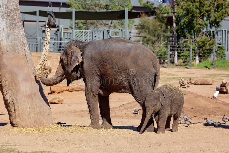 Elefante de la madre y del beb? en cautiverio foto de archivo libre de regalías