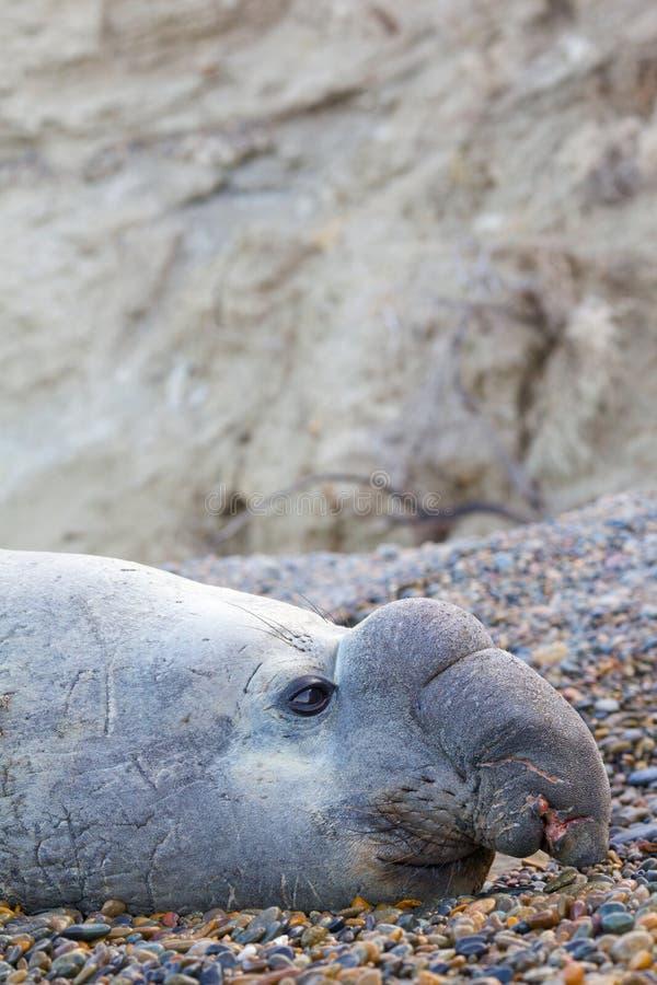 Elefante de mar foto de archivo