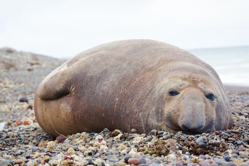 Elefante de mar imagem de stock