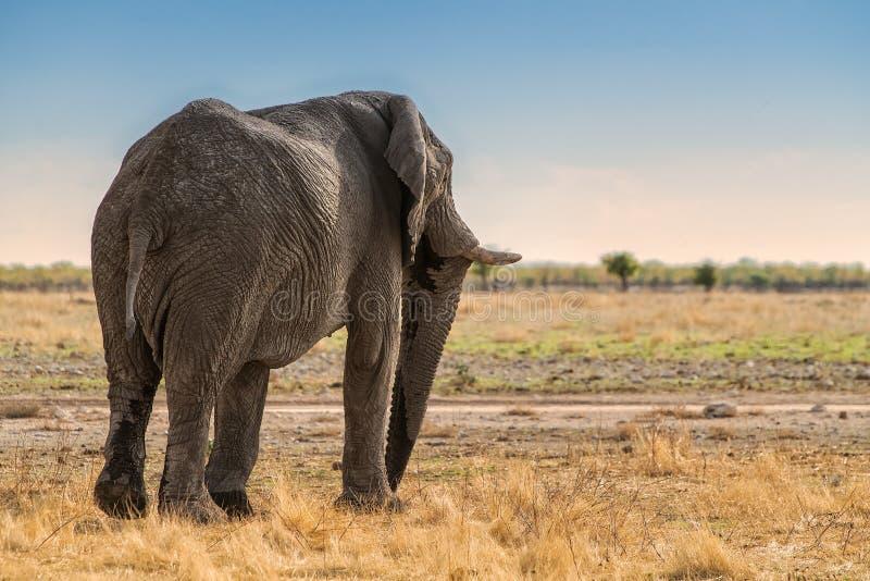 Elefante de nuevo a paseo en sabana namibiana África fotos de archivo libres de regalías