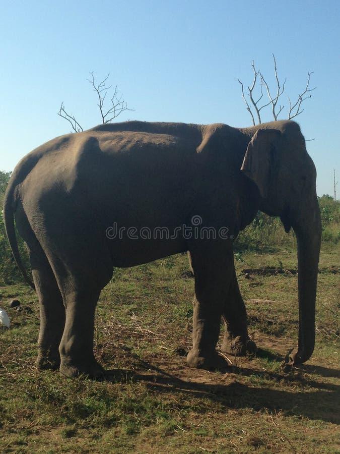 Elefante de Sri Lanka fotografía de archivo libre de regalías