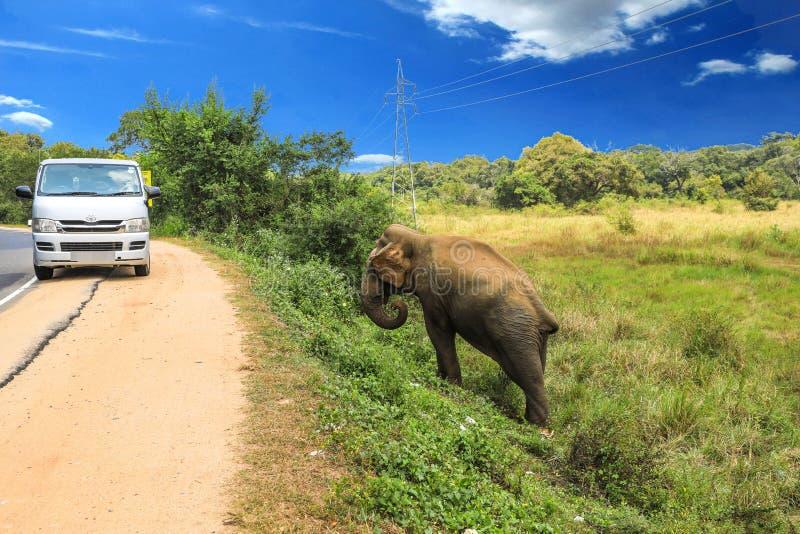 Elefante de Sri Lanka na estrada fotos de stock