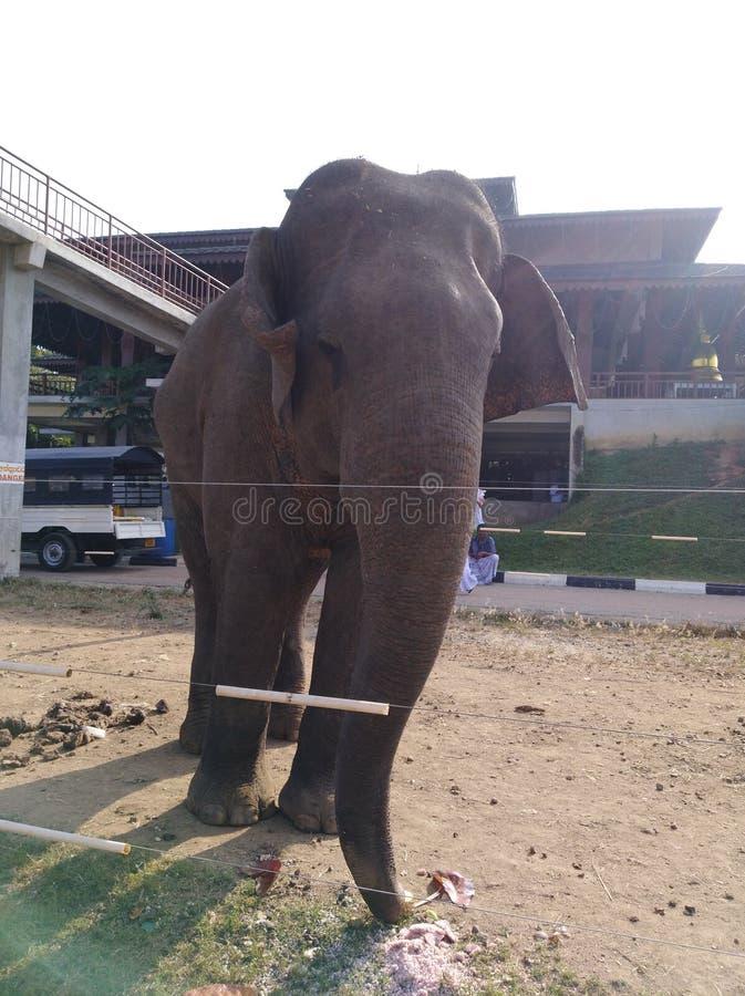 Elefante de Sri Lanka no templo imagens de stock royalty free