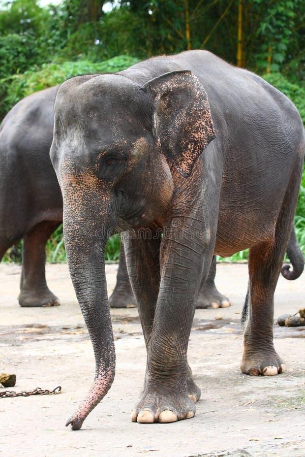 Elefante de Sumatran fotografia de stock