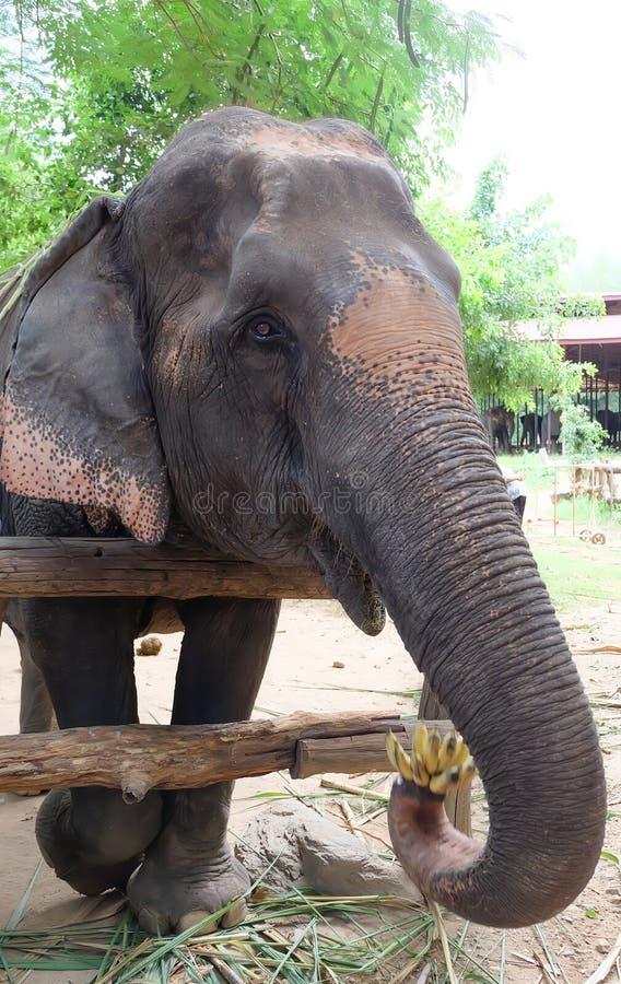 Elefante de Tailandia imágenes de archivo libres de regalías