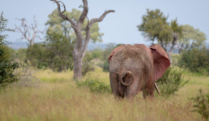 Elefante de toro africano que agita sus o?dos en el arbusto en el parque nacional de Kruger, Sur?frica foto de archivo