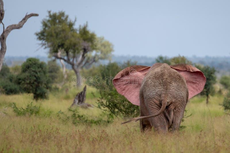 Elefante de toro africano que agita sus o?dos en el arbusto en el parque nacional de Kruger, Sur?frica fotografía de archivo