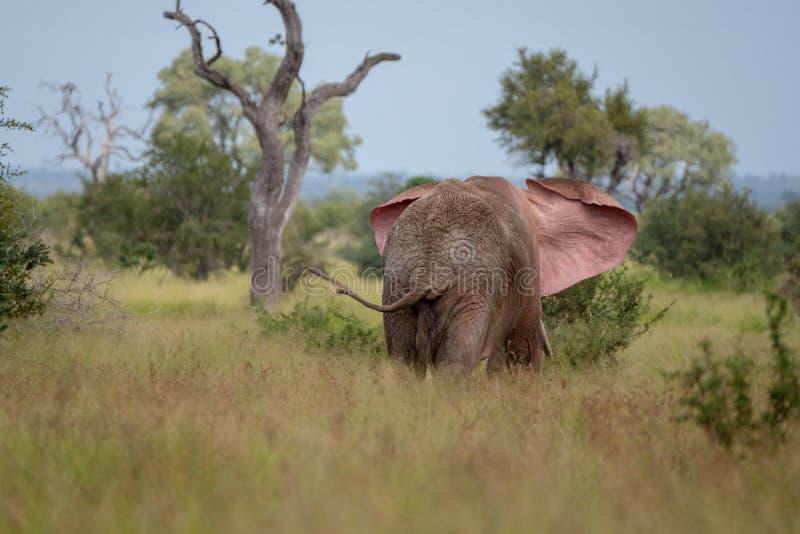 Elefante de toro africano que agita sus o?dos en el arbusto en el parque nacional de Kruger, Sur?frica imagen de archivo
