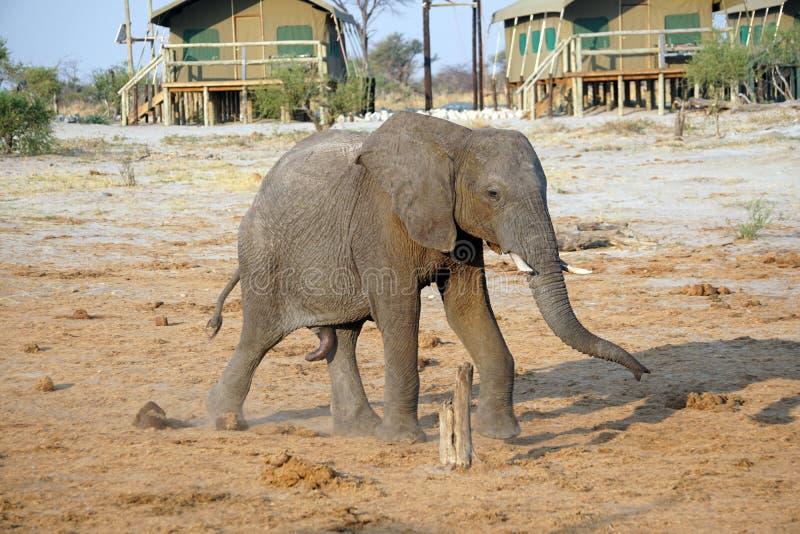 Elefante de toro joven en Botswana fotografía de archivo