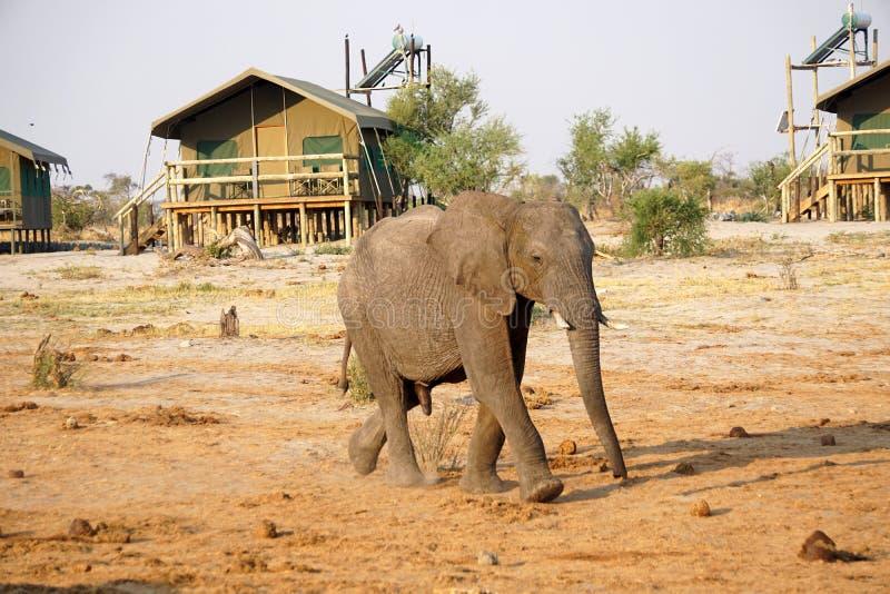 Elefante de toro joven en Botswana imagenes de archivo