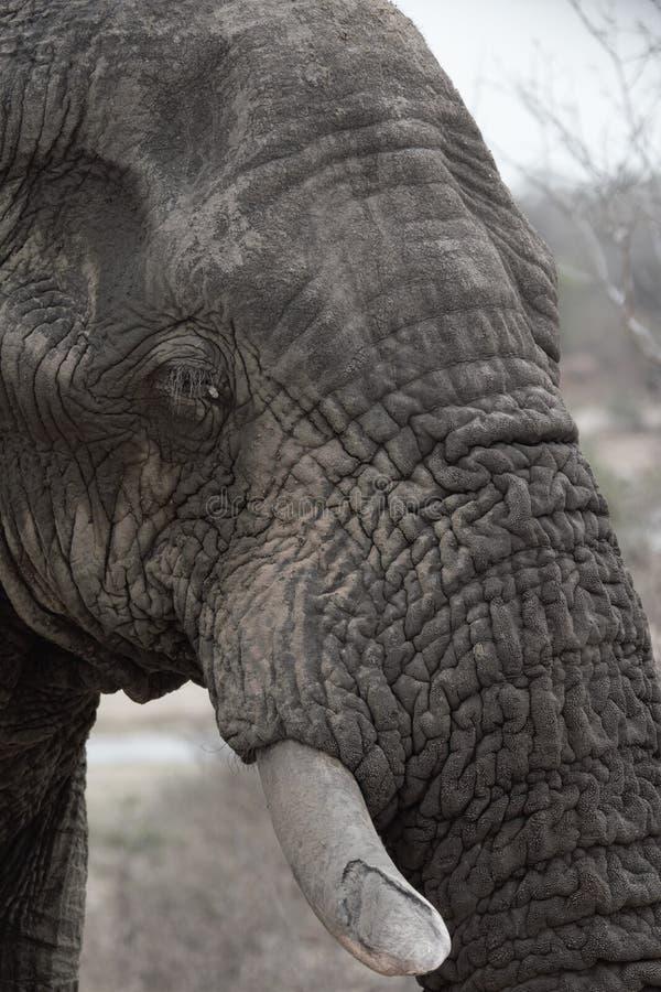 Elefante de toro viejo y sabio fotografía de archivo