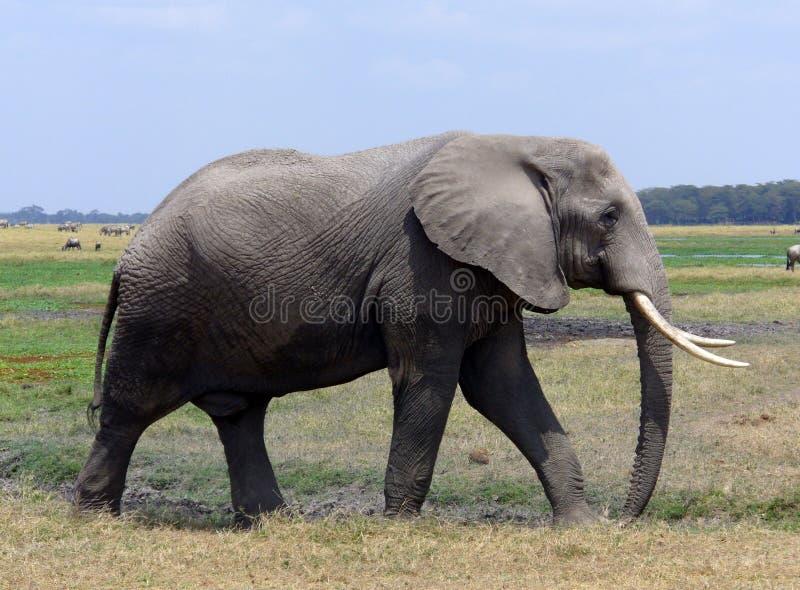 Elefante de touro adulto foto de stock royalty free