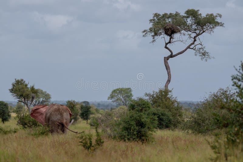 Elefante de touro africano que bate suas orelhas no arbusto no parque nacional de Kruger, África do Sul imagem de stock