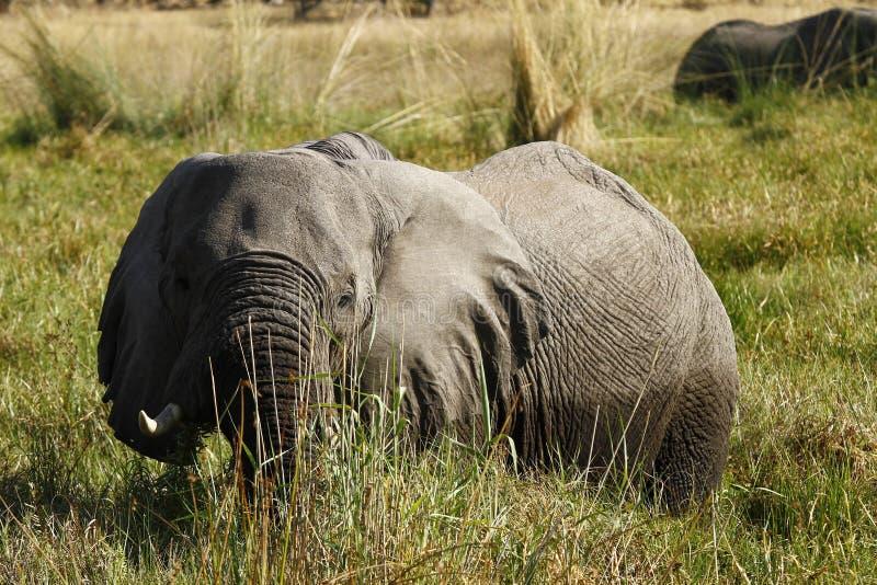 Elefante de touro grande fotos de stock