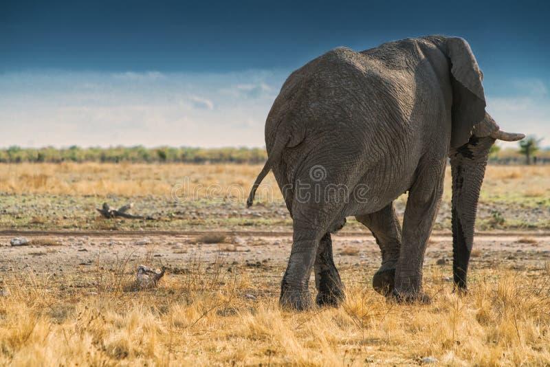 Elefante de volta à caminhada no savana africano de Etosha nafta imagem de stock royalty free