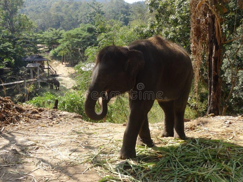 Elefante del bambino immagini stock